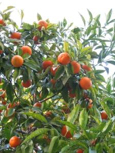 i mandarini di arenzano