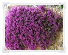 cervo-liguria-fiori-8-foto-di-Tiziana-Bergantin-A407